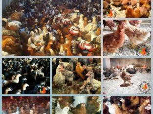 فروش جوجه یکروزه بومی جوجه محلی نیمچه مرغ بومی