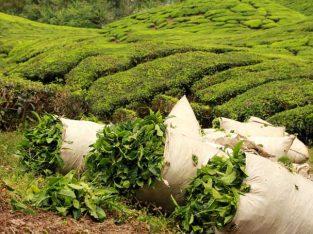 فروش کلی و جزیی چای بهاره سیاه و چای سبز ۱۳۹۸