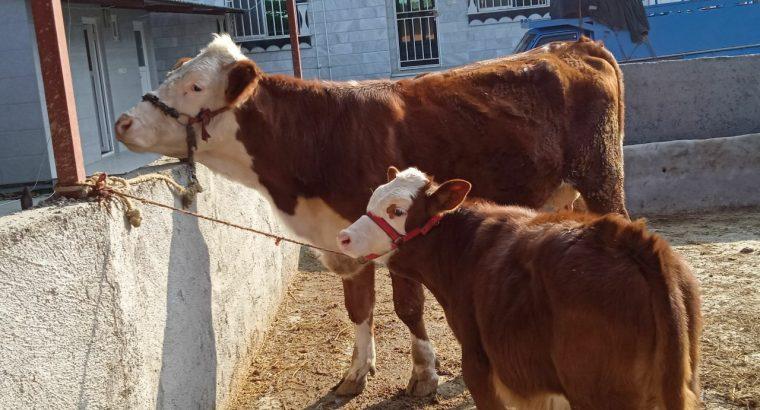 فروش انواع گوساله پرواربندی